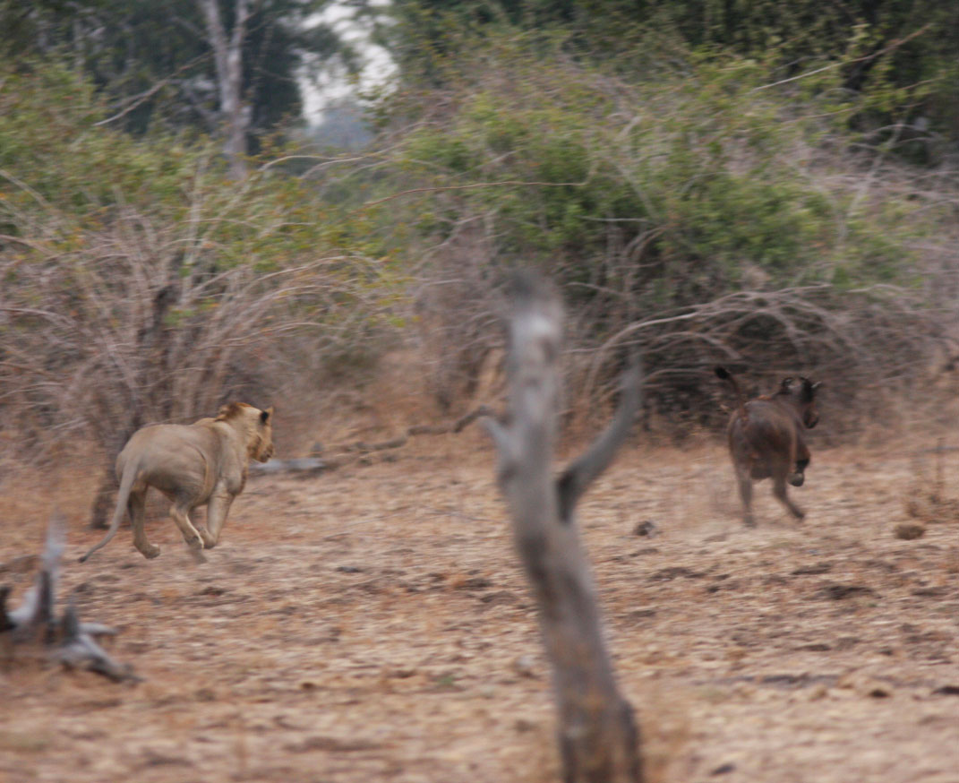 Living on Earth: Trouble for the King of Beasts