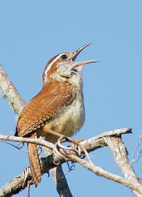 Living on Earth: BirdNote® How Birds Sing So Loud