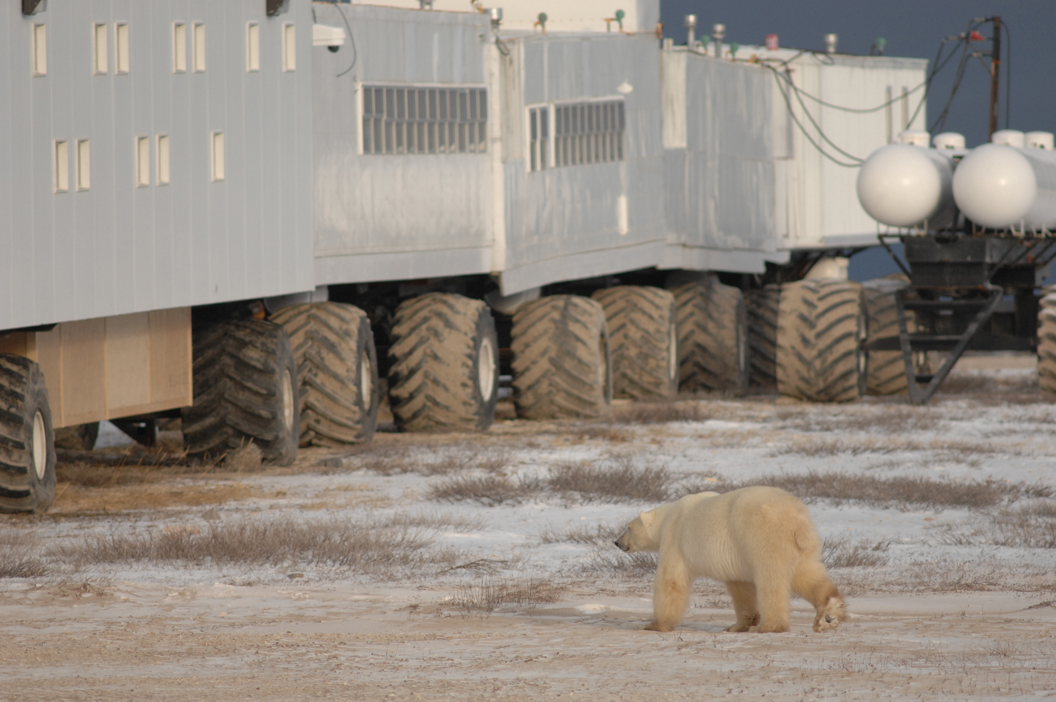 Polar Bear Attacks On Humans