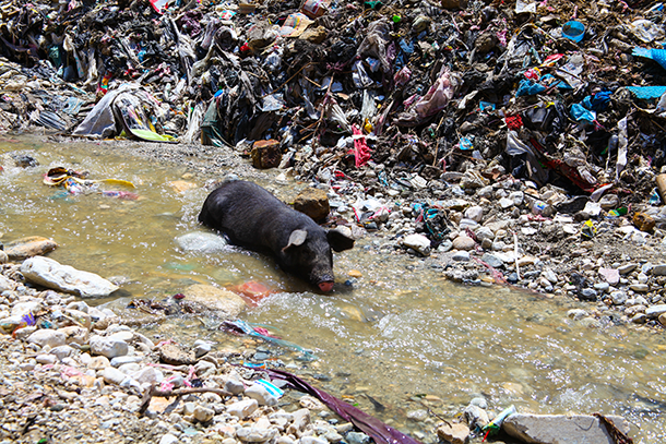 slaughter and suppression in haiti African swine fever eradication and pig repopulation in haiti  when  hemmorhagic blood is shed, either through urine or diarrhea, or at time of  slaughter.