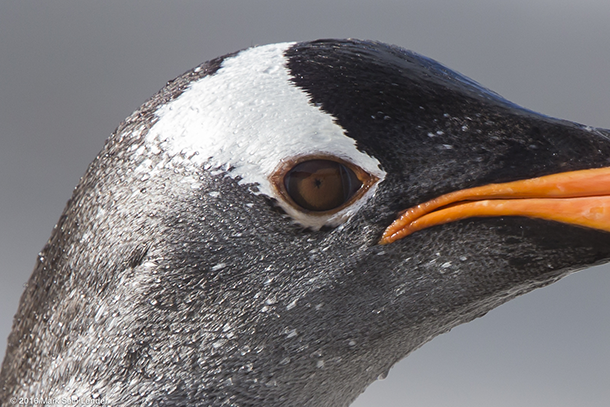 Penguin Eyes Up Close Living on Earth: Up Cl...
