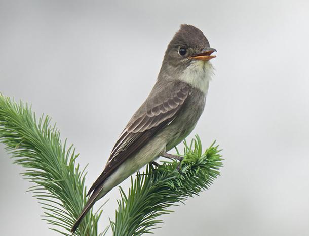 Living on Earth: BirdNote: Whistling Birds