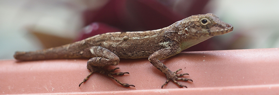 For Anole lizards living in Puerto Rican cities, the slickness of walls and windows poses a challenge to creatures that evolved on rocks and trees. Yet their feet are fast adapting to grip well on smooth surfaces.