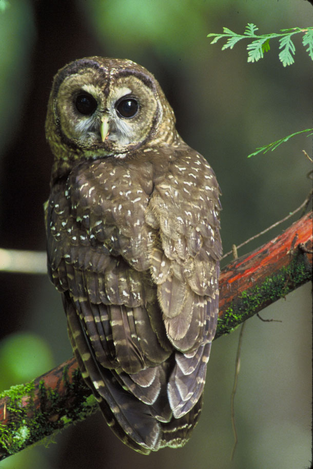 Living on earth january 19 2018 the northern spotted owl an already threatened species is facing a growing risk to its health from marijuana farms where the spraying of rodenticides is fandeluxe Choice Image