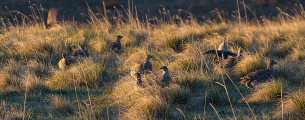 Pheasant, sharptail, partridge numbers: Reason for hope in North Dakota